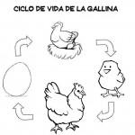 Ciclo vital de la gallina (3)